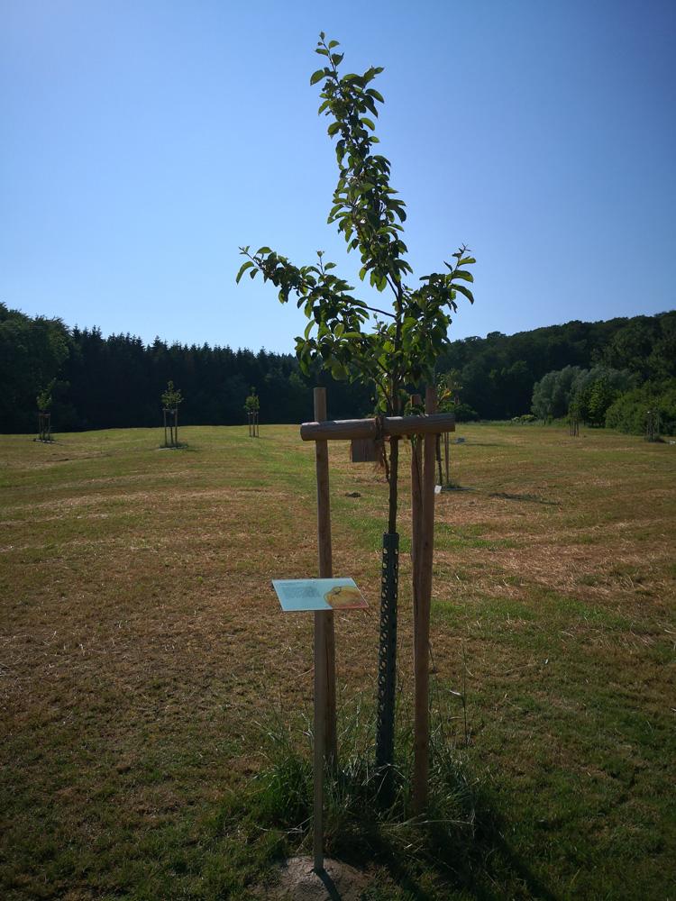 apfelbaum-fertig