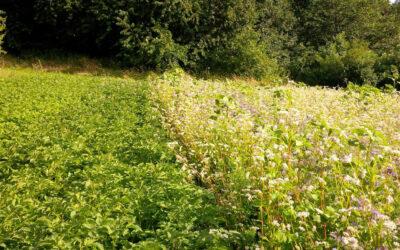 Projekt Kartoffel-Blüh-Acker