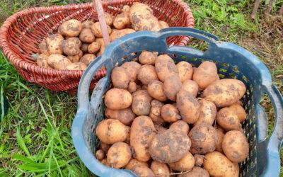 Kartoffelernte 2020